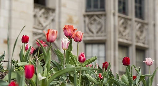 pink tulips in front of Gothic architecture